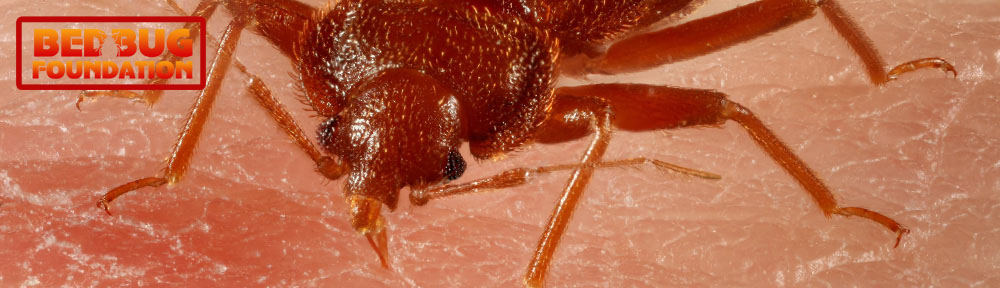 Identification | The Bed Bug Foundation